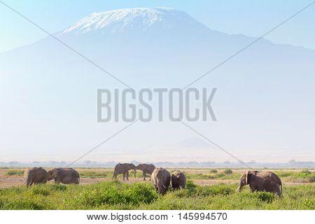 Elephants in front of Kilimanjaro at the background shot at Amboseli national park Kenya. Horizontal shot