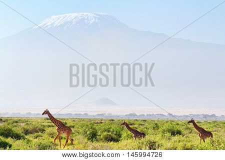 Giraffes in front of Kilimanjaro at the background shot at Amboseli national park Kenya. Horizontal shot