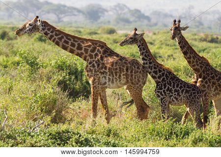 Three giraffes wallking in the grass in Amboseli Kenya