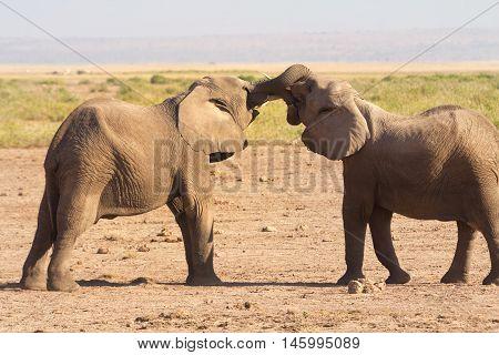 Two small male elephants bullying in Amboseli National Park Kenya