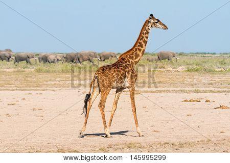 Giraffe in Amboseli Kenya. Group of elephants on background