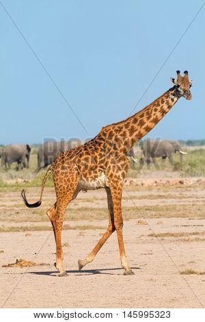 Portrait of giraffe in Amboseli Kenya. Group of elephants on background