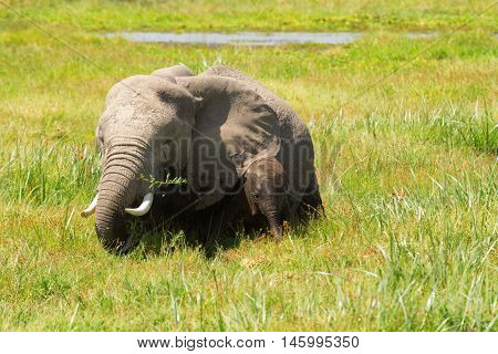 Mother and baby elephants in a pond. Shot at Amboseli national park Kenya
