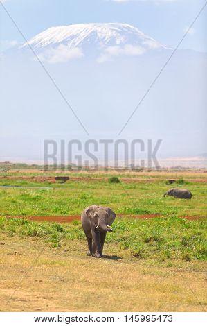 Elephant in front Kilimanjaro at the background shot at Amboseli national park Kenya