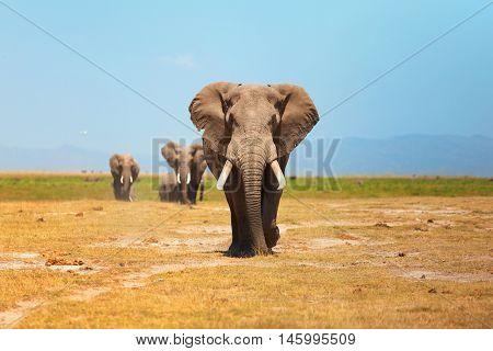 Elephant portrait in Amboseli National Park Kenya. Horizontal shot couple of other elephants behind it
