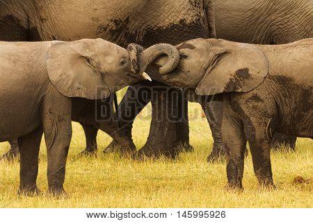 Young elephants bullying in Amboseli National Park Kenya.