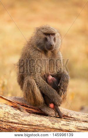 Baby baboon sucking from its mother in Masai Mara Kenya