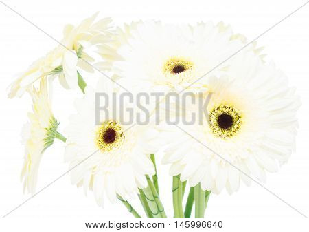 Beige gerbera flowers isolated on white background
