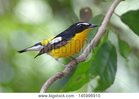 Yellow-rumped Flycatcher Ficedula zanthopygia Male Birds of Thailand