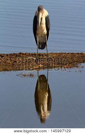Portait of Marabu Stork in Nakuru Lake Kenya.