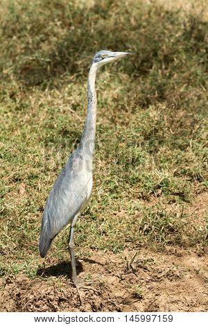 Grey heron in Amboseli national park Kenya