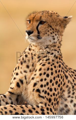 Male cheetah sitting in grass and looking for its pray in Masai Mara Kenya. Vertical portrait