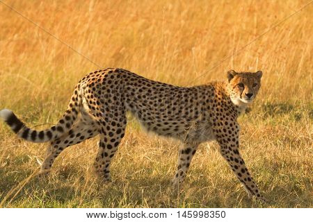 Male cheetah walking in grass and looking for its pray in Masai Mara Kenya. Side view looking at the camera