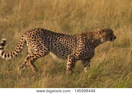 Male cheetah walking in grass and looking for its pray in Masai Mara Kenya Africa