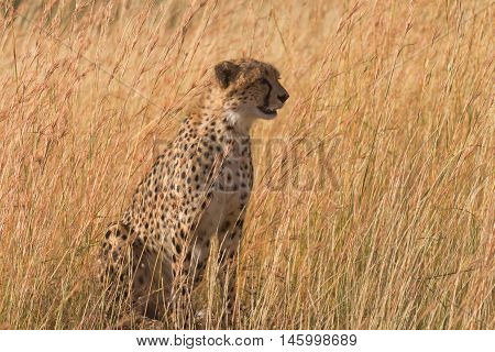 Male cheetah walking in grass and looking for pray in Masai Mara Kenya. Looking right.