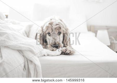 dog, puppy, english, cocker, spaniel, pet, lazy, black, white