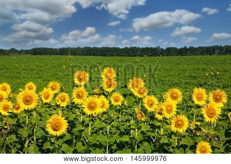 Sunflowers field at blue sky background. Agricultural business, sunflower oil production. Summer farming. Cultivated sunny field with bright yellow flowers, rural nature