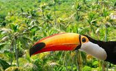 Toco Toucan In Palm Tree Tropical Jungle