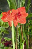 image of belladonna  - Beautiful Red Hippeastrum flowers in blossom among other home plants - JPG
