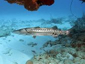 stock photo of barracuda  - huge dangerous barracuda sheltering under coral shelf showing teeth utila honduras