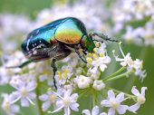 Cetonia beetle on white flower