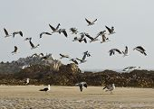 stock photo of flock seagulls  - flock of seagulls taking off with some rocks in the background - JPG