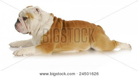 bulldog laying down with back legs stretched out behind on white background