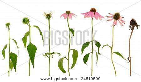 Evolution of Echinacea purpurea flower isolated on white background