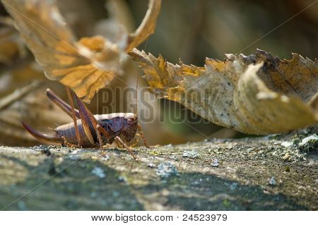 Grasshopper In Natural Forrest Environment