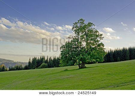 Árbol de hoja ancha