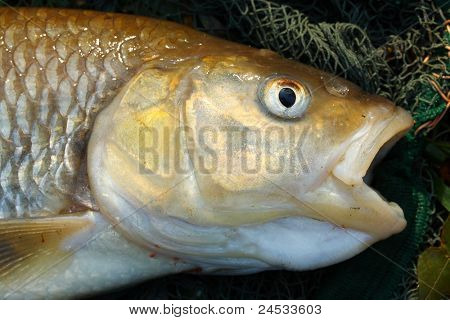 Close up of a big European Chub (Squalius cephalus) on a landing net.