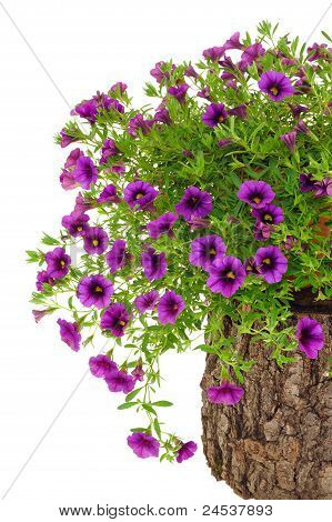 Petunia Surfinia flowers on tree trunk over white background