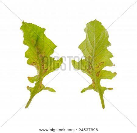 Diseased leaf of Gerbera Daisy