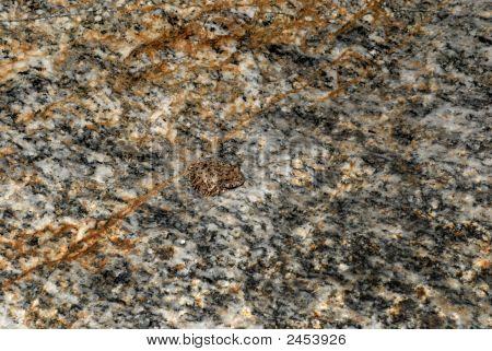 Hidden Rock Toad