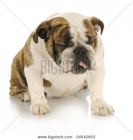 disgusted dog - english bulldog with disgusted looking expression sitting on white background