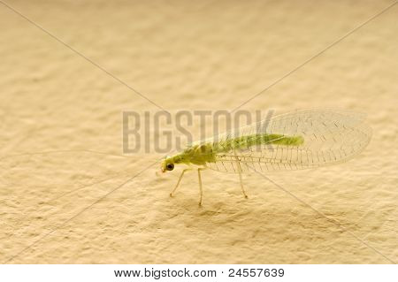 Insect Green Lacewing