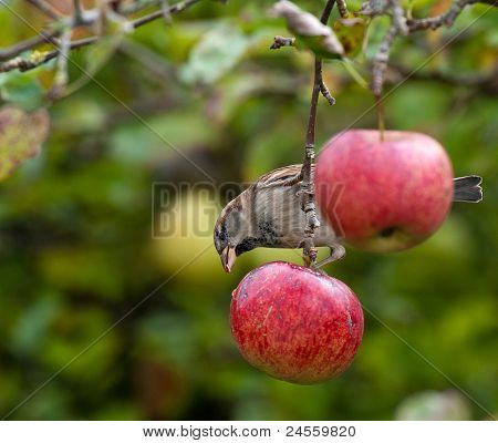 Bird eating from a red apple