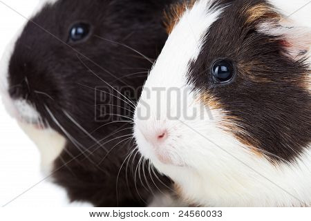 Two Cute Guinea Pigs Isolated