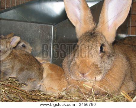 Rabbit With Kits