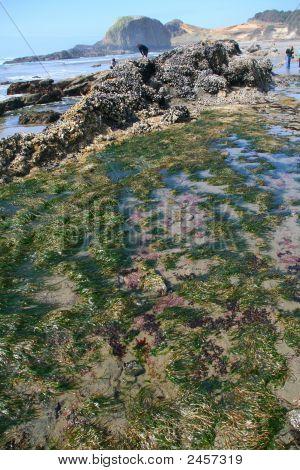 Tide Pool: Sea Anemones