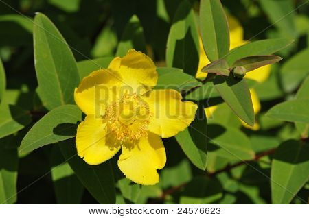 Big Yellow Hypericum With Green Leafs
