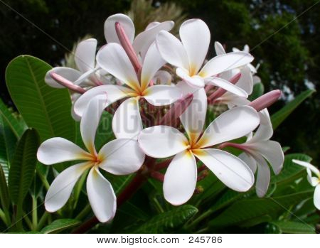 Hawaiian Blossoms