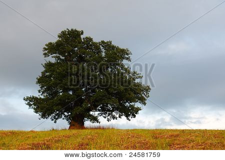 Viiralti Oak
