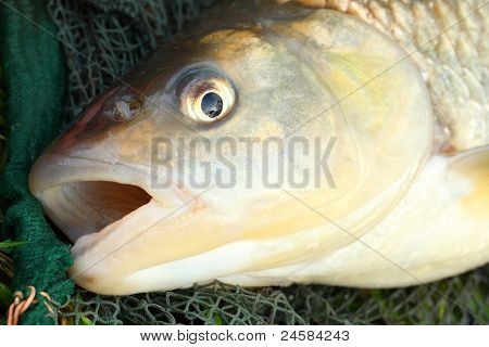 Big European Chub (Squalius cephalus) on a landing net. Close up with shallow DOF.