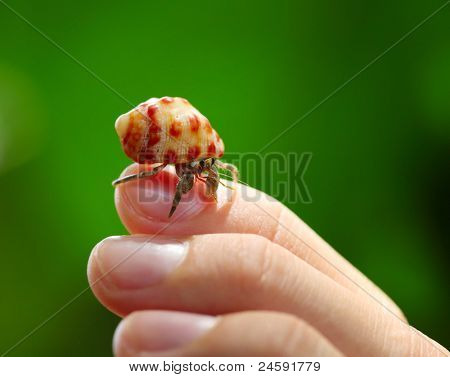 Hermit crab (Coenobita clypeatus) on a human's finger on green background