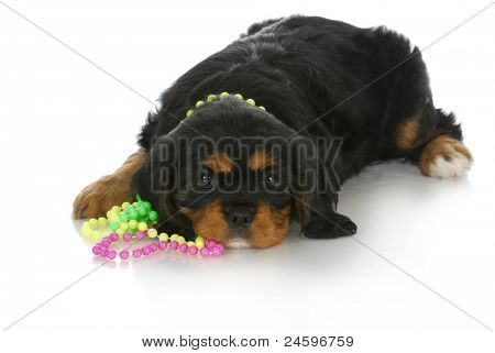 cute puppy - cavalier king charles puppy wearing colorful beads laying on white background