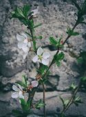 Blooming Branch On The Background Of A Concrete Wall. Blooming Branch. poster