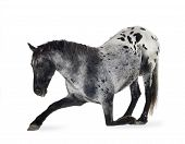 stock photo of appaloosa  - Appaloosa horse in front of a white background - JPG