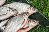 Pile Of The White Bream Or Silver Fish And White-eye Bream With Fishing Rod With Reel On The Natural poster