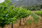 Grapevine With Baby Grapes And Flowers - Flowering Of The Vine With Small Grape Berries. poster